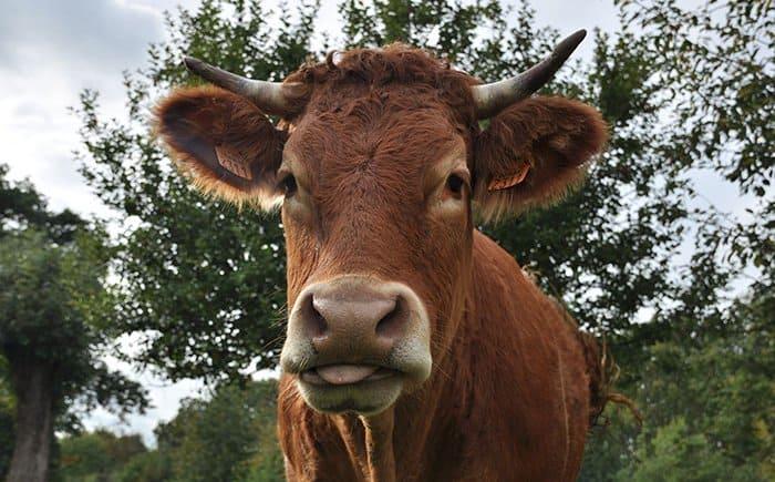 Invriezen en houdbaarheid rundvlees